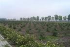 Plantacja borówki amerykańskiej