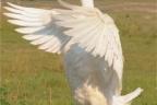 Ukraina - ferma drobiu, gęsi tuczone 5 zl/kg, kaczki broilery 4 zl/kg