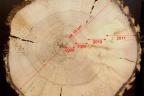 Produkcja surowca drzewnego dla energetyki, sektora papierniczego, producentów płyt mdf, osb