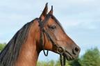 Ośrodek jazdy konnej, hodowla koni arabskich