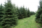 Dwie plantacje 25 tyś drzew ozdobnych - wspólnik lub sprzedaż
