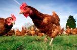 Ekologiczna ferma jaj z podlaskiej wsi, wiejskie jaj od rolnika