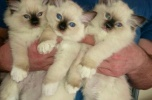 Sprzedam działającą hodowlę kotów rasowych