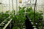 Sprzedam hodowle indoor konopi, cbd, Aeroponika