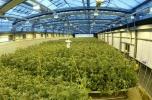 Zarabiaj pasywny dochód z własnej rośliny konopi